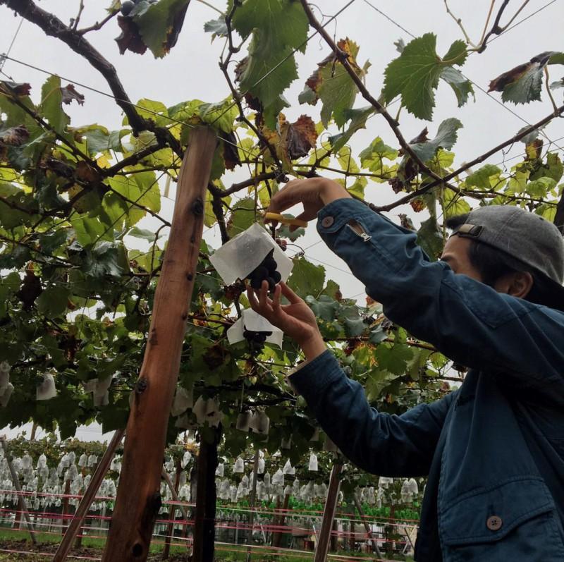 grape_picking_2