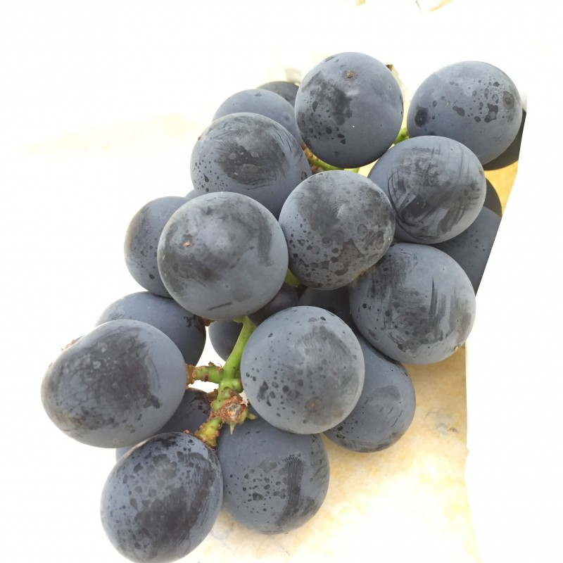 grape_picking_4